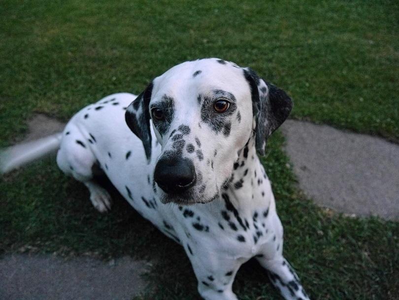 dalmatian in grass_Piqsels