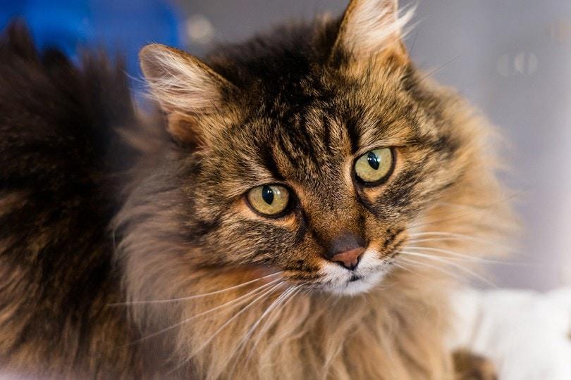 domestic-longhair-cat-breed_Todorean-Gabriel_shutterstock