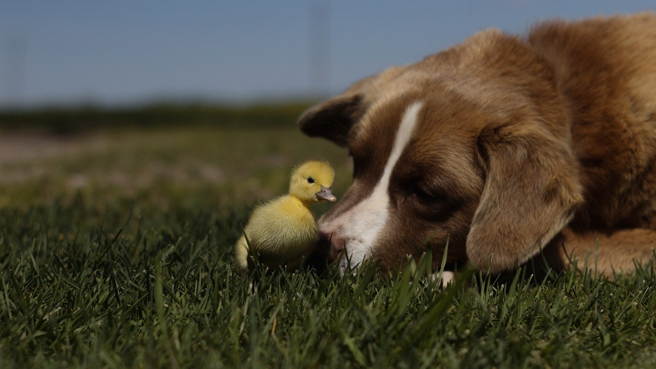 duckling and dog