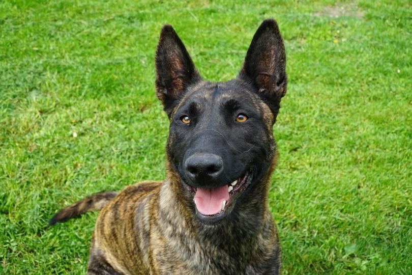 dutch-shepherd dog_mariuszopole_Pixabay
