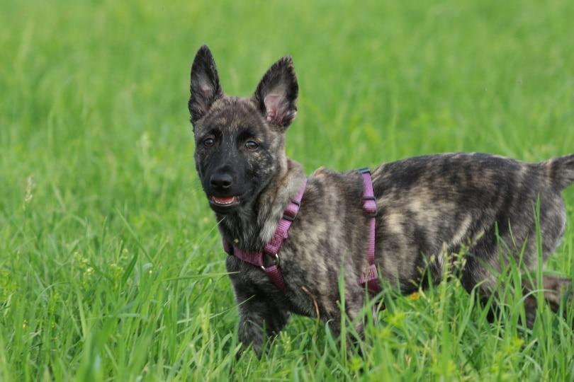 dutch shepherd puppy_Nico Weinhold_Pixabay