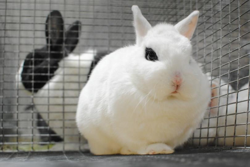 dwarf hotot rabbit_WBes_Shutterstock