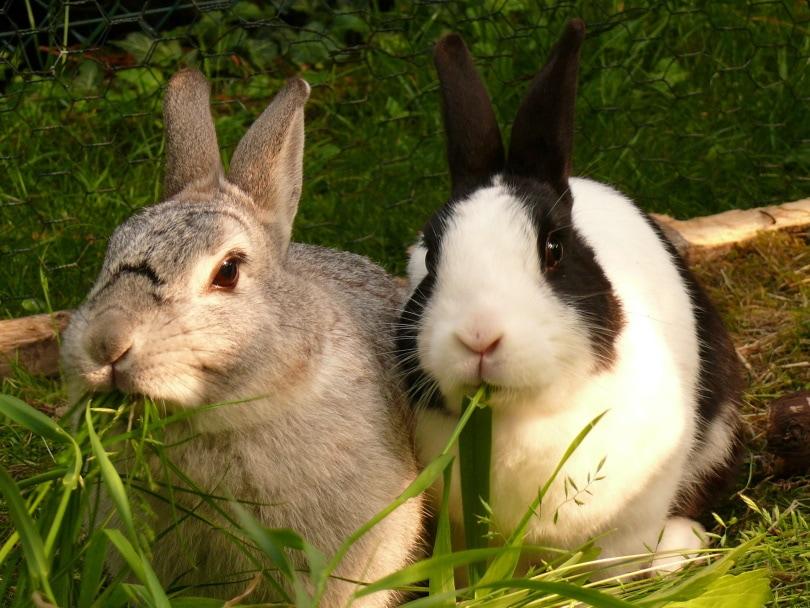 dwarf rabbit eating_Piqsels