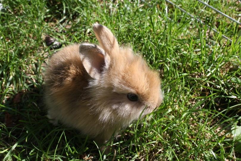dwarf rabbit_tmh_Pixabay