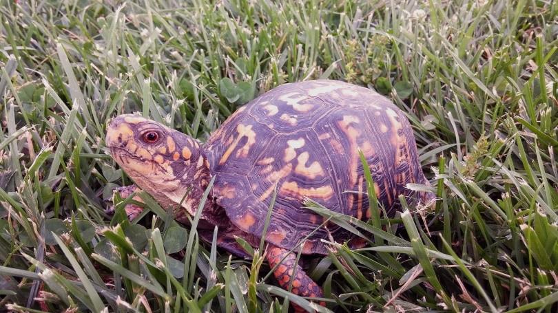 eastern box turtle in grass_Deedster_Pixabay