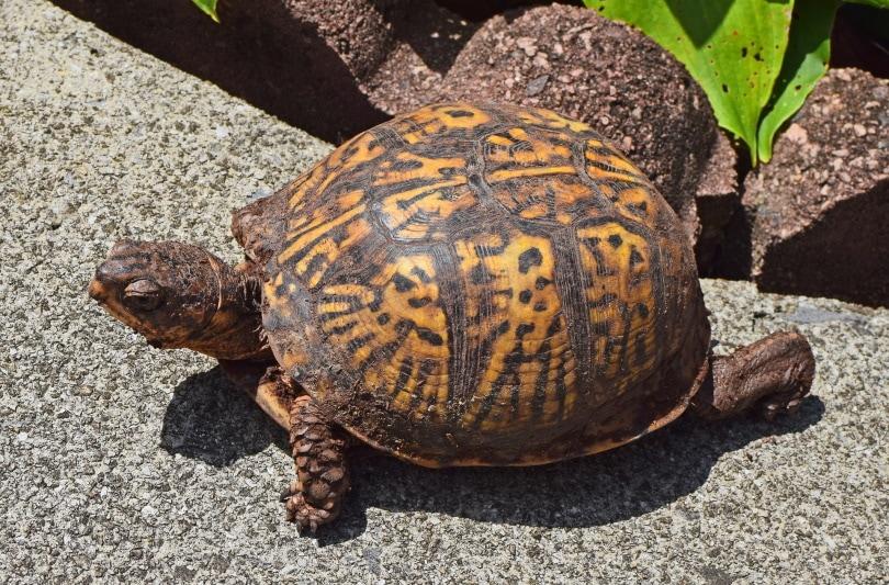 eastern box turtle on patio_Jan Haerer_Pixabay