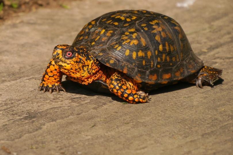 esatern box turtle_Piqsels