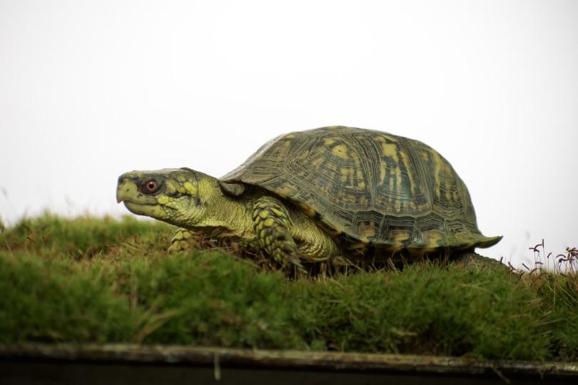 eastern box turtle_Pixabay