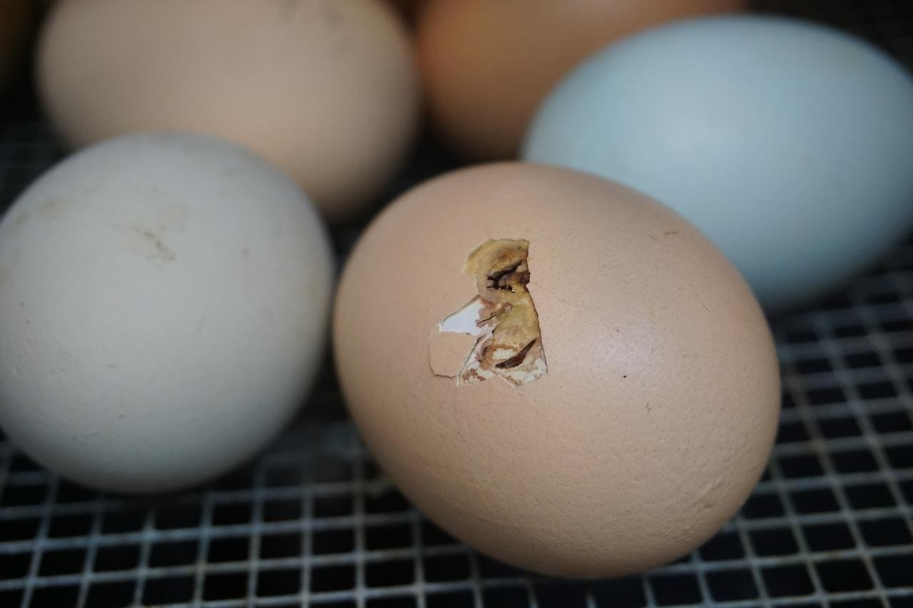 egg hatch