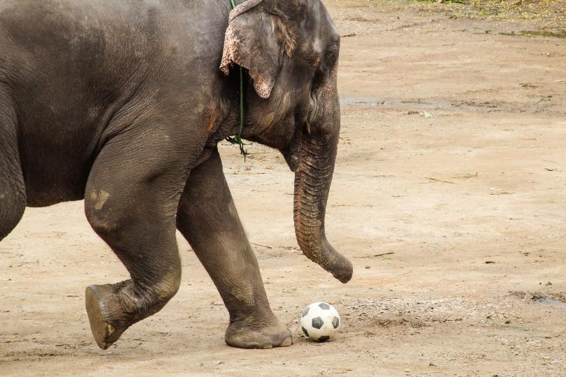 elephant soccer_G.Mallofret_Shutterstock
