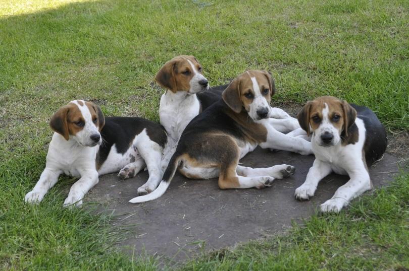 english foxhound puppies_Angela Lock_Shutterstock
