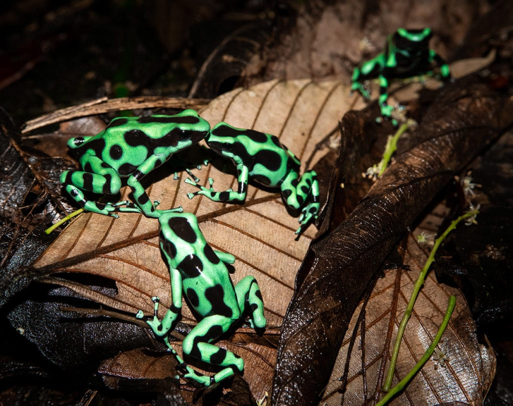 family of green and black poison dart frog
