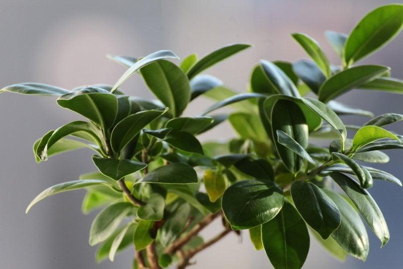 ficus plant_Julio Pablo Vázquez_Pixabay