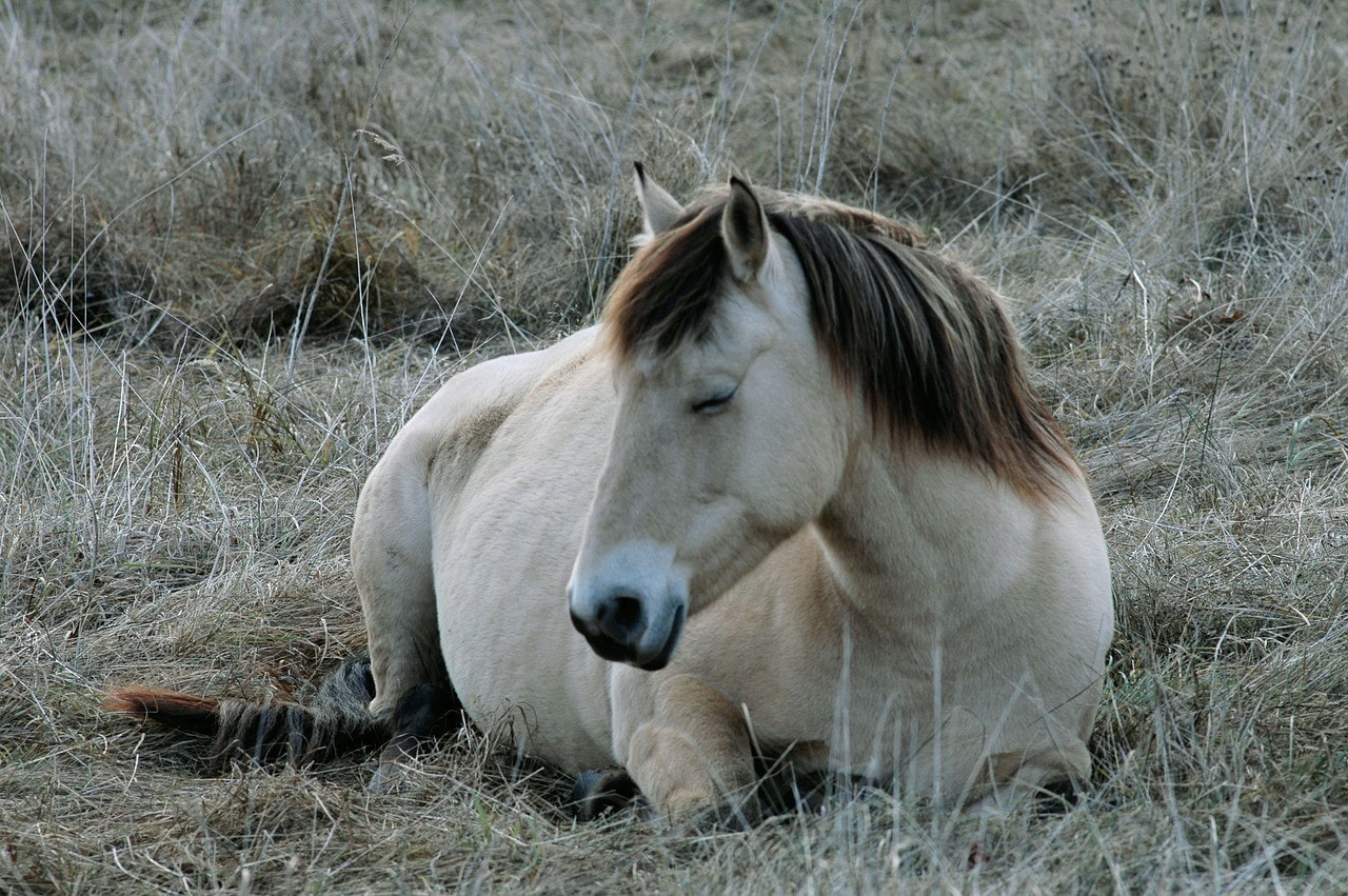 fjord horse resting