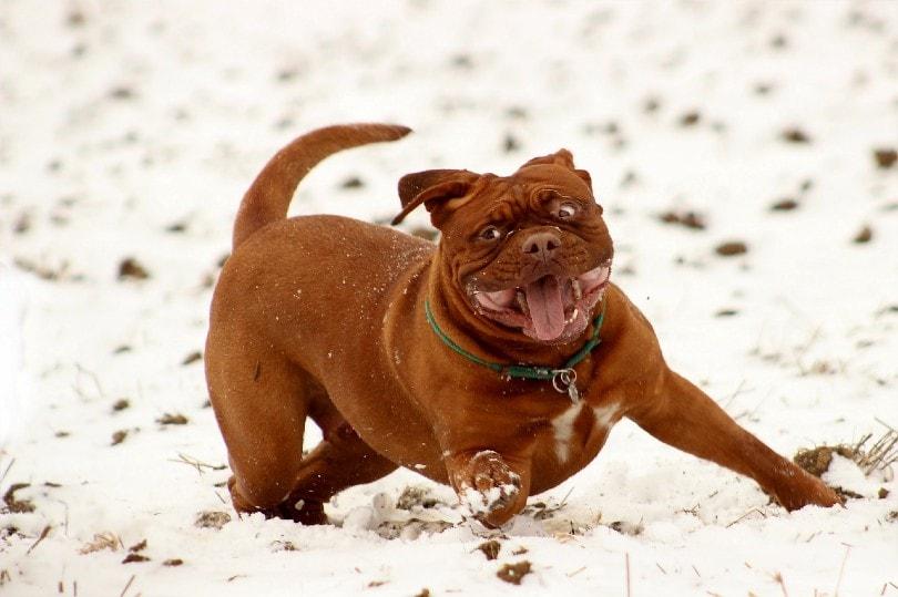 french mastiff playing on snow