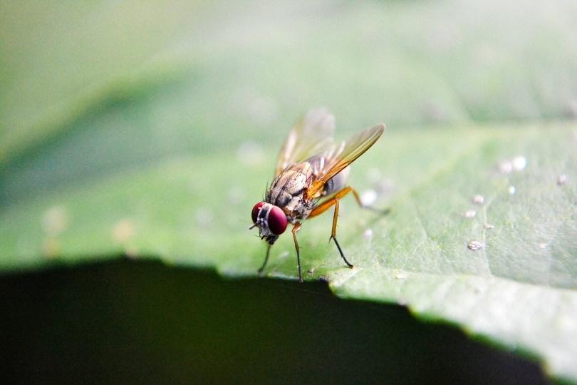 fruit fly_Mohamed Nuzrath_Pixabay