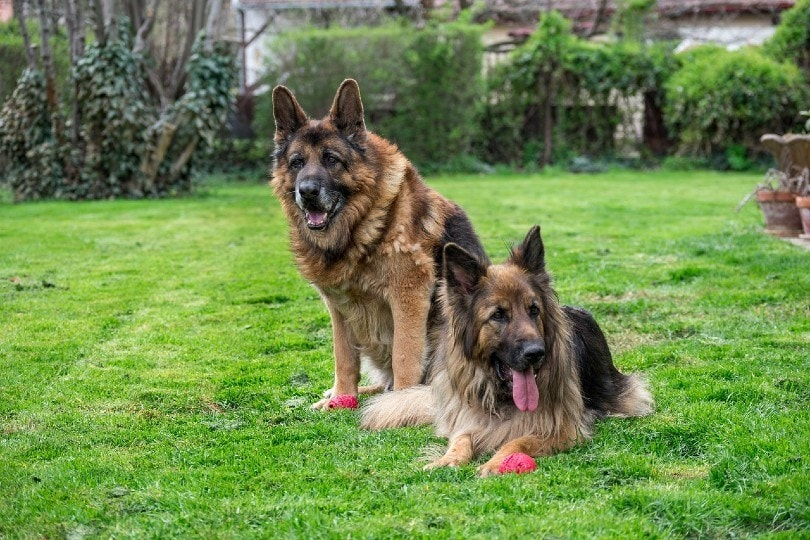 german shepherd dogs resting in the yard