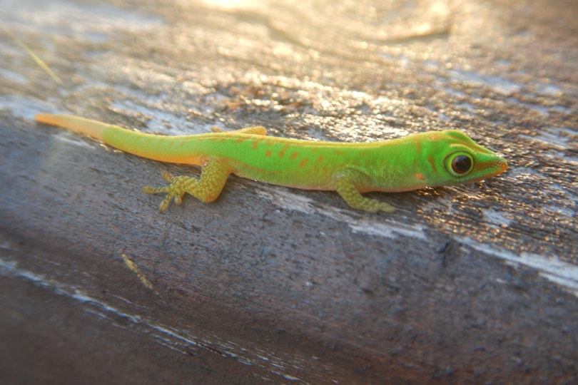 giant day gecko II_Piqsels