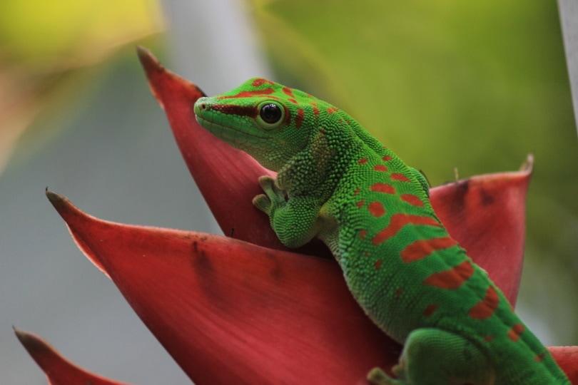giant day gecko climbing_Piqsels