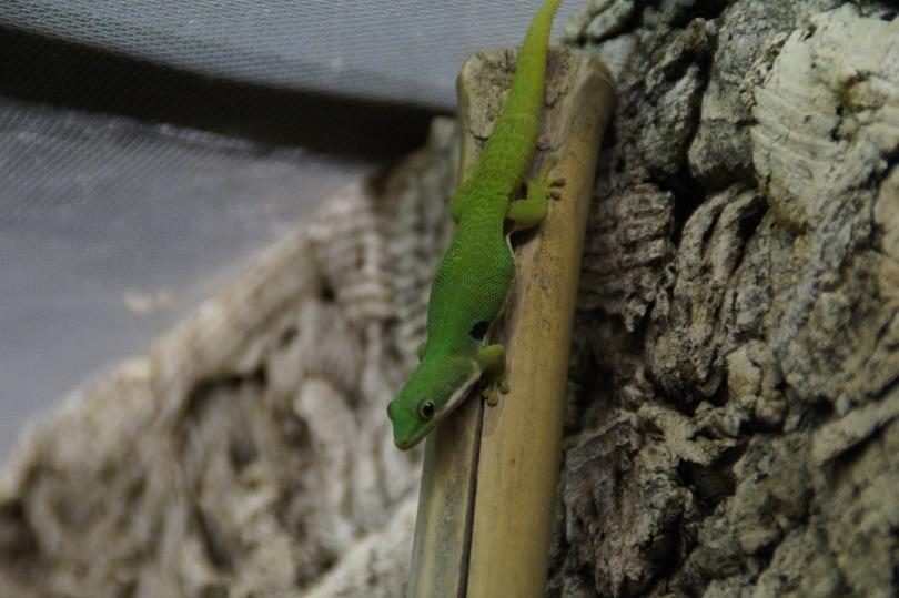 giant day gecko crawling_Piqsels