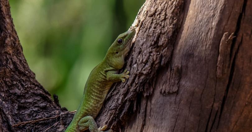 giant day gecko_Christo Ras_Pixabay
