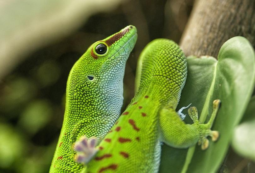 giant day gecko_Denis Doukhan_Pixabay