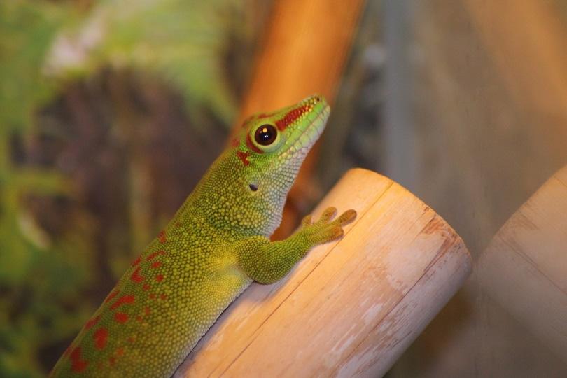 giant day gecko_DomenicBlair_Pixabay