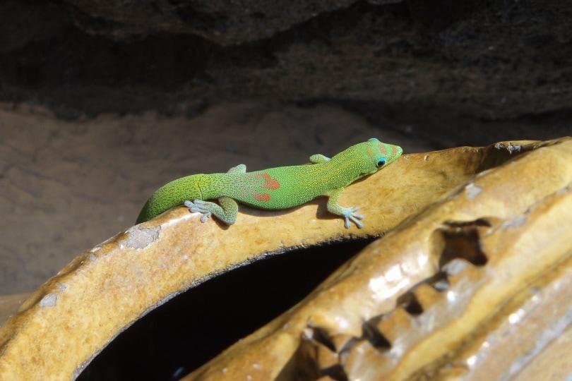 giant day gecko_Gretta Bartoli_Pixabay