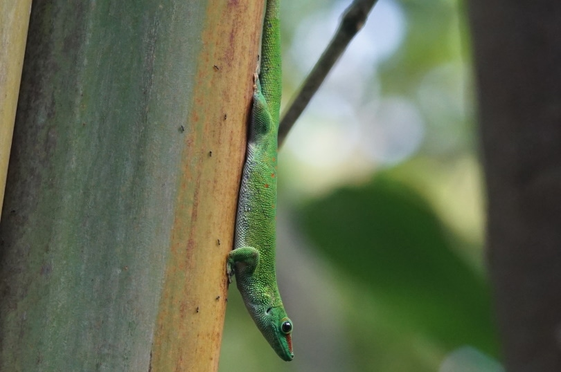 giant day gecko_Marcel Langthim_Pixabay