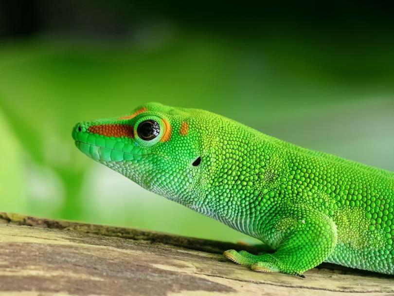 giant day gecko_moonzigg_Pixabay