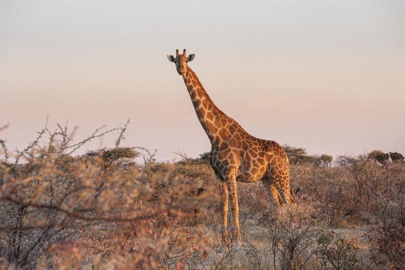 giraffe_Chris Stenger_Pixabay