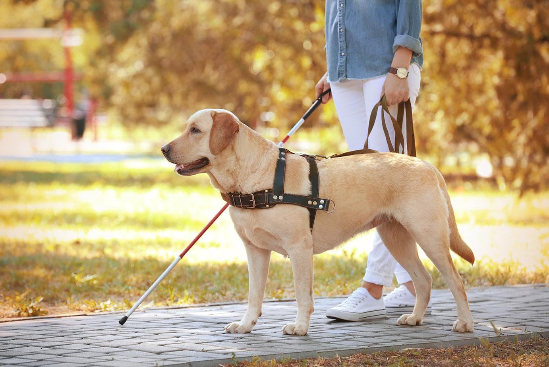 golden retriever as service dog