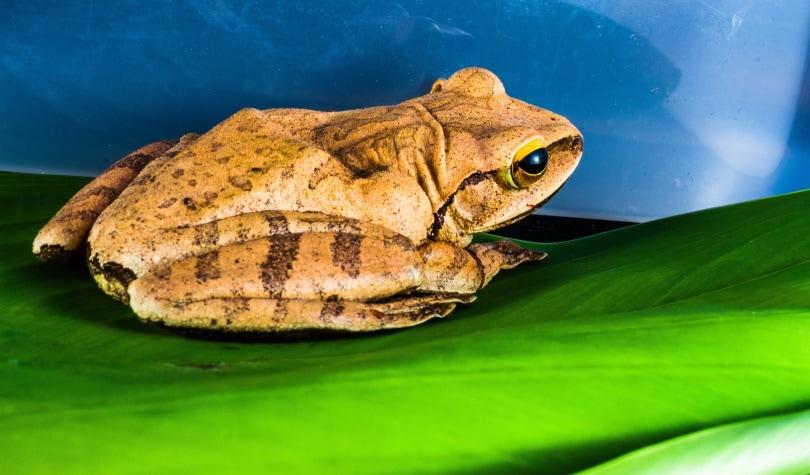 golden tree frog in green leaf_Piqsels
