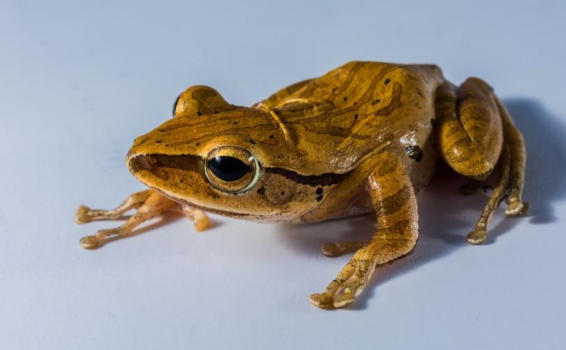 golden tree frog_Piqsels