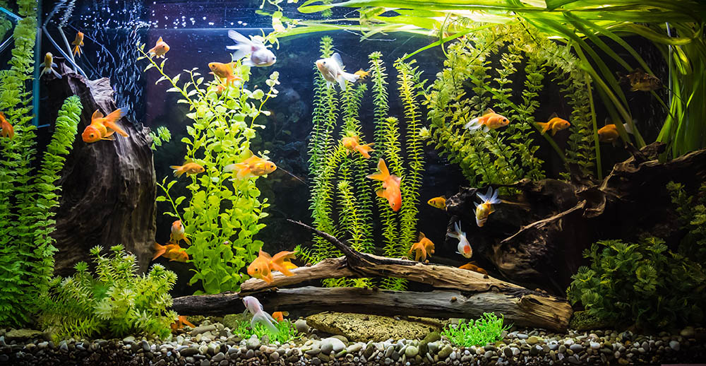 goldfish and guppies in tank
