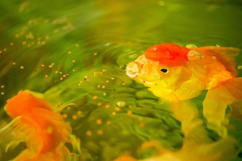 Goldfish eating_Rabbitmindphoto, Shutterstock