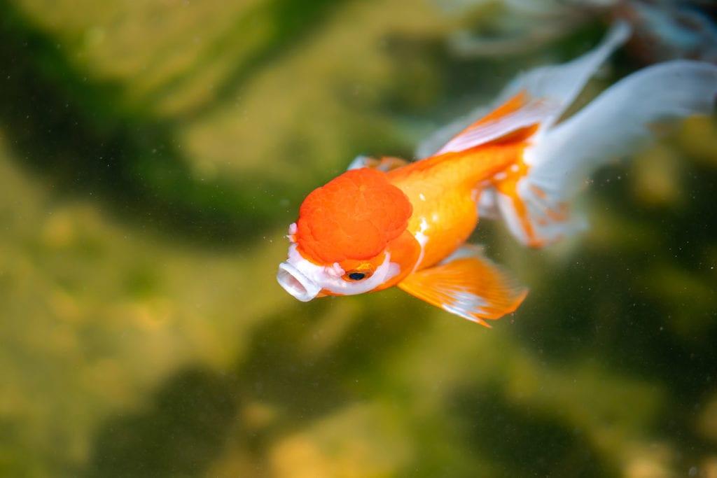 goldfish eating