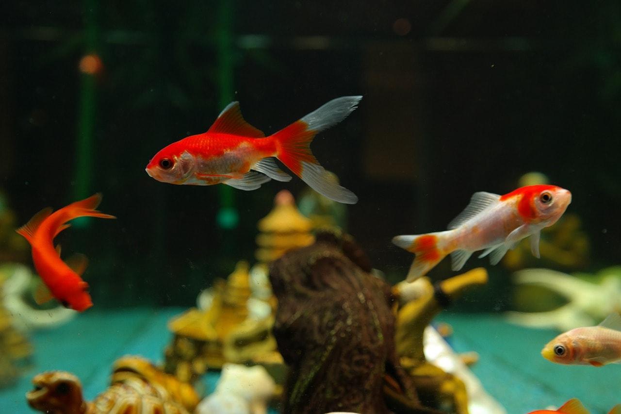 goldfish inside tank