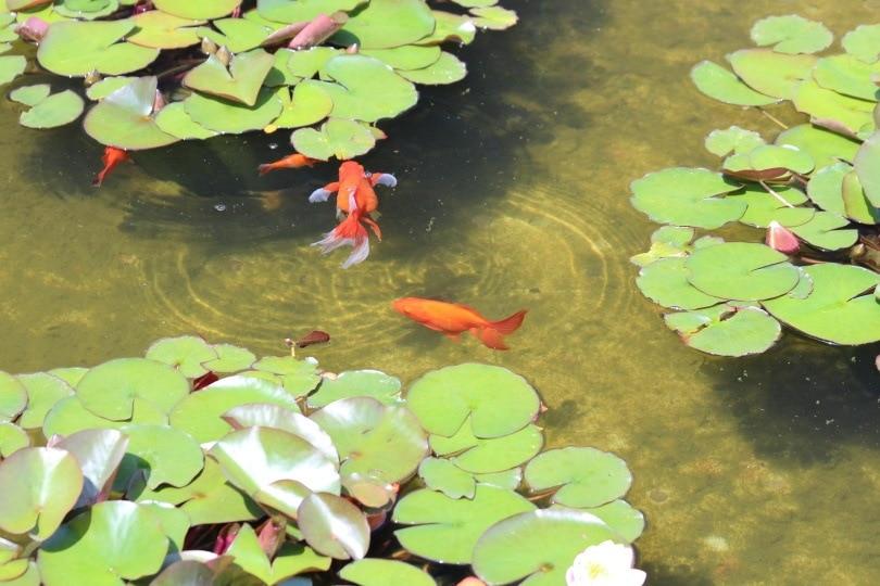 goldfish outdoor_zoosnow_Pixabay