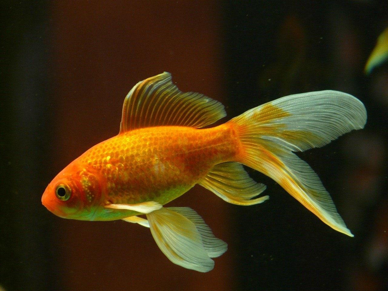 goldfish veiltail