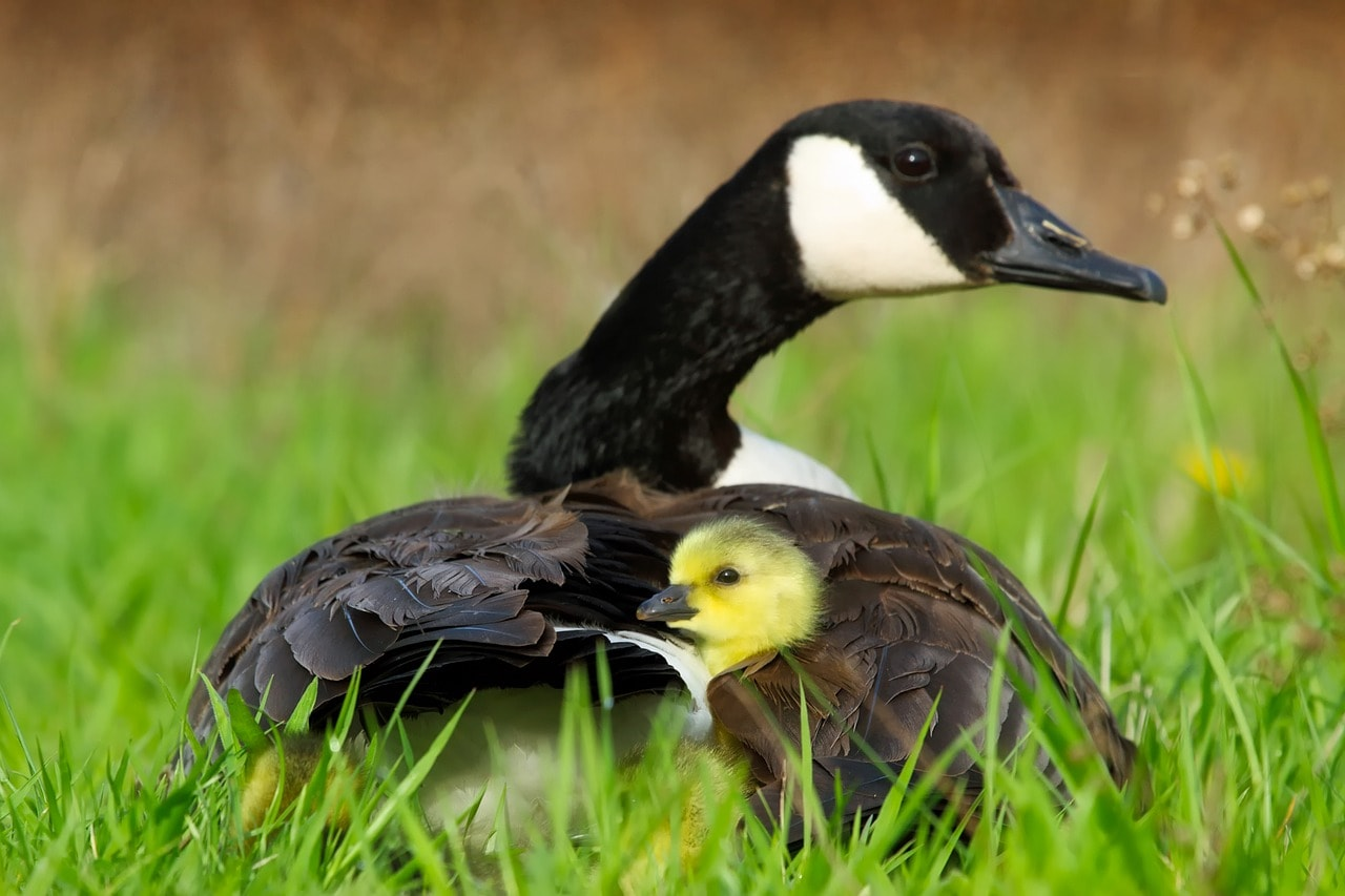 goose and duckling