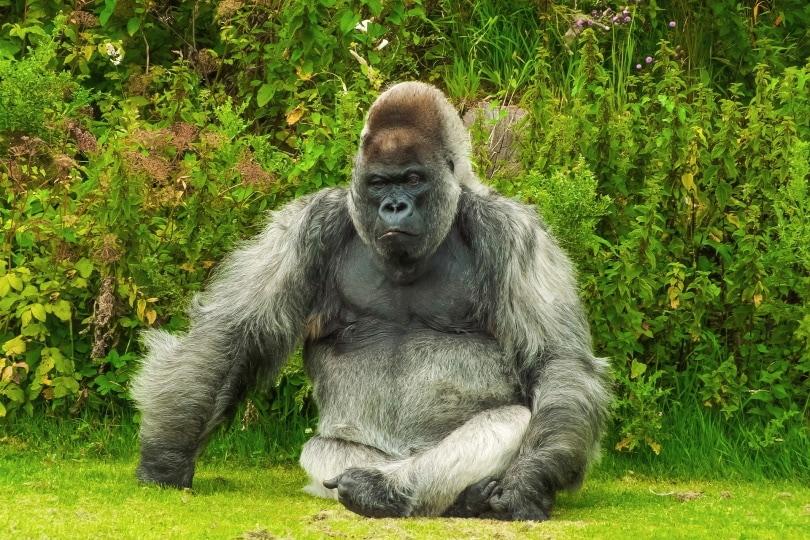 gorilla_Roman Grac_Pixabay