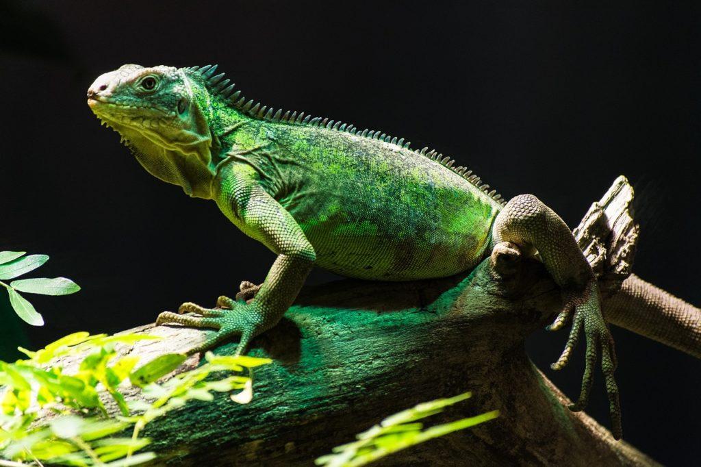 green iguana on tank