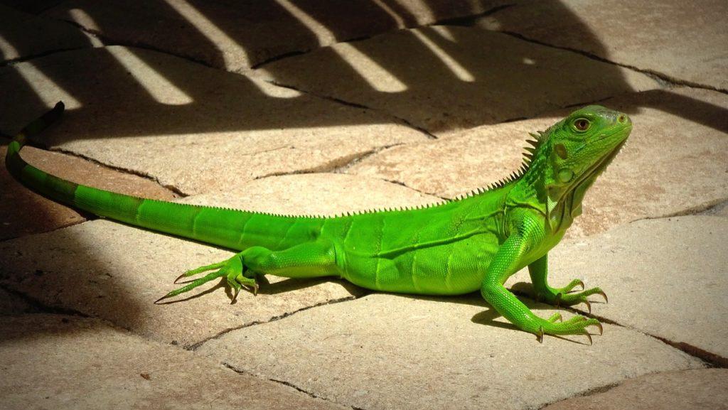 green iguana on the floor