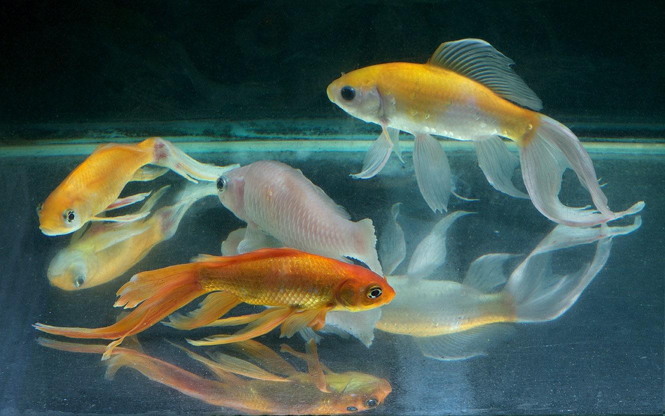 group of sick goldfish