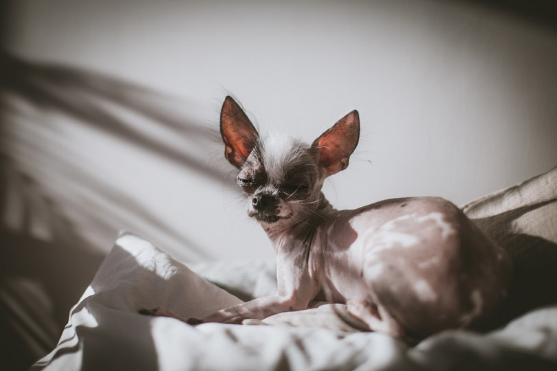 hairless and chihuahua mix_Rosa Jay_shutterstock (2)