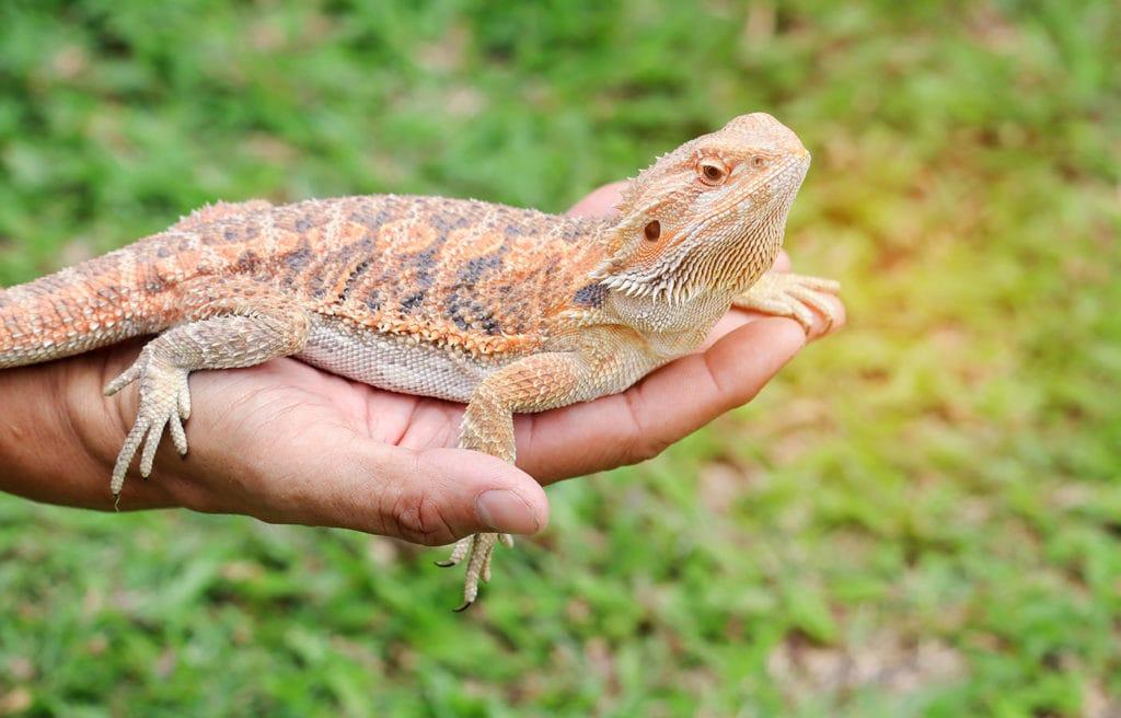 hand carrying bearded dragon