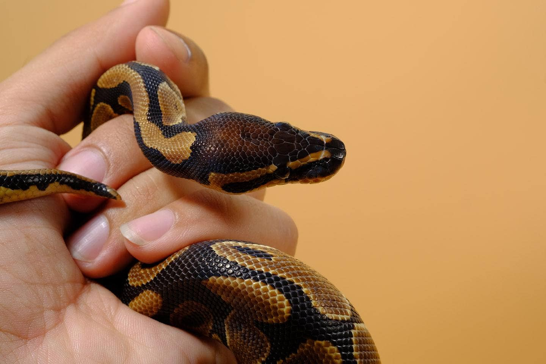 hand holding ball python