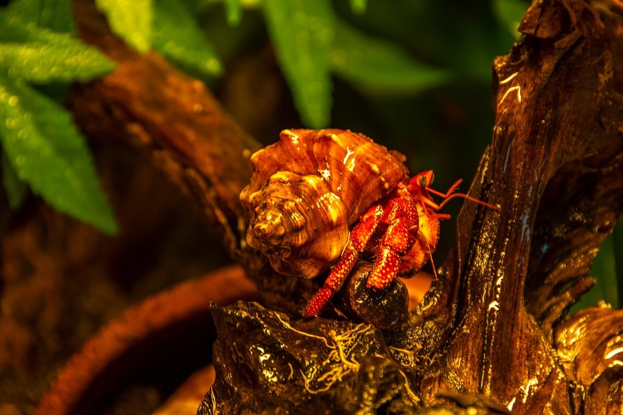 hermit crab in a terrarium
