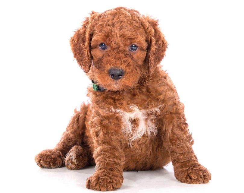 irish doodle dog_Joca de Jong_Shutterstock